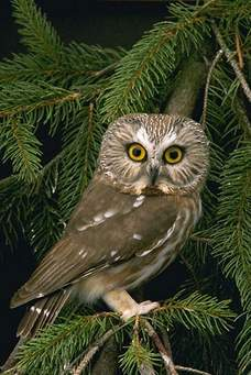 Strix: Literally meaning owl.