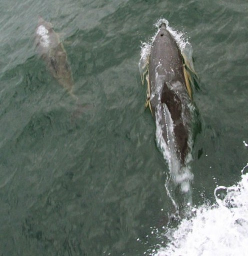 Mother dolphin and her calf.