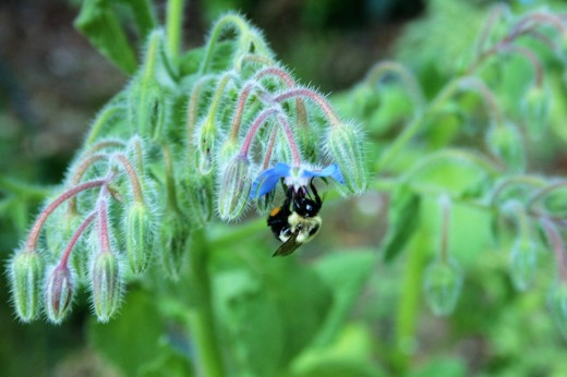 Bees love borage.