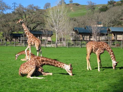 Giraffes at play