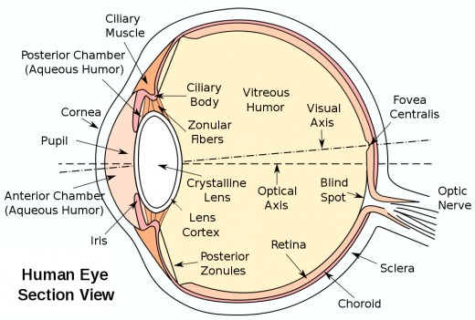 The retina is a lining of tissue at the back of the eye. If the vitreous fluid inside the pulls away too abruptly, a tear will result. Wikimedia public domain
