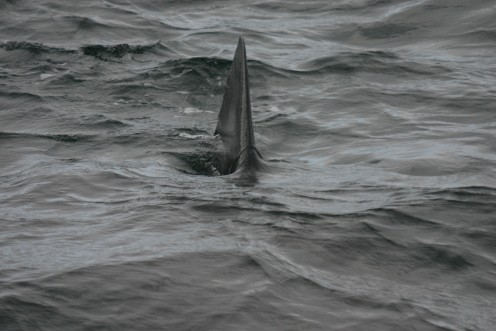 Basking shark heading straight for our boat.  Even though they are the 2nd largest shark in the world, they are harmless to people and feed on plankton.