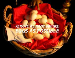 It is usual to remove as many mature eggs available