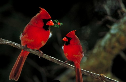 What a beautiful sight to behold..I would love to watch a pair of Cardinals munching on a popcorn garland