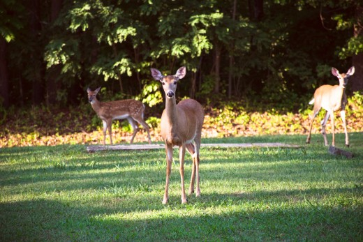 A doe and her fawns enjoying some clover