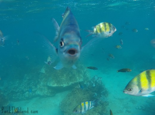 The fish around Koh Lipe love tourists, and this one even swam right up to my camera