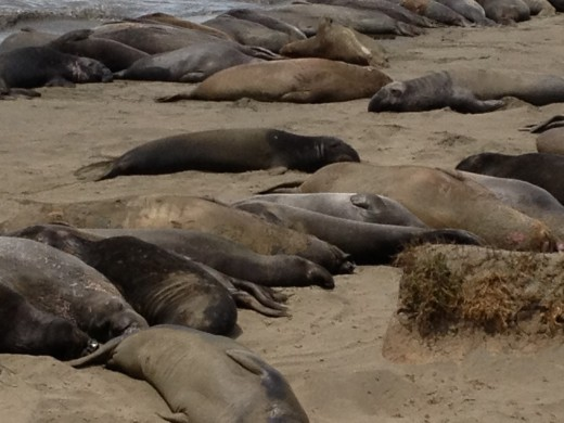 Elephant Seals of Big Sur zapped of energy.