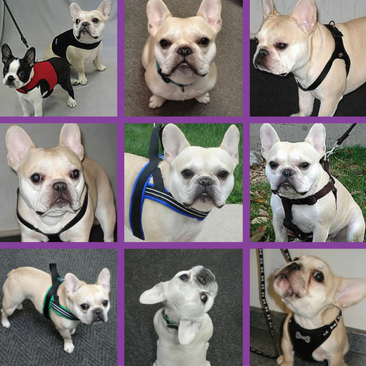Teddy (French Bulldog) has a wardrobe that's changed over the years.