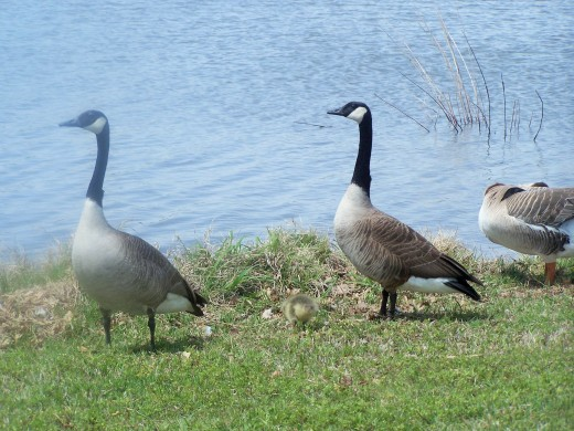 Mother geese lead the parade...