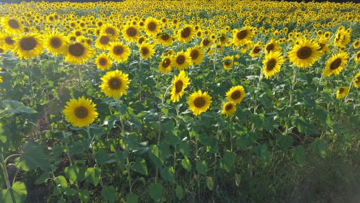 Sunflowers rotate to face the sun throughout the day.
