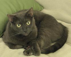 Sable Bombay Cat By Tobytheslupycat CC BY-SA 3.0