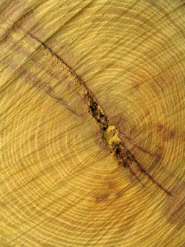 Cut Hedge(Osage Orange) Log Prior to Splitting