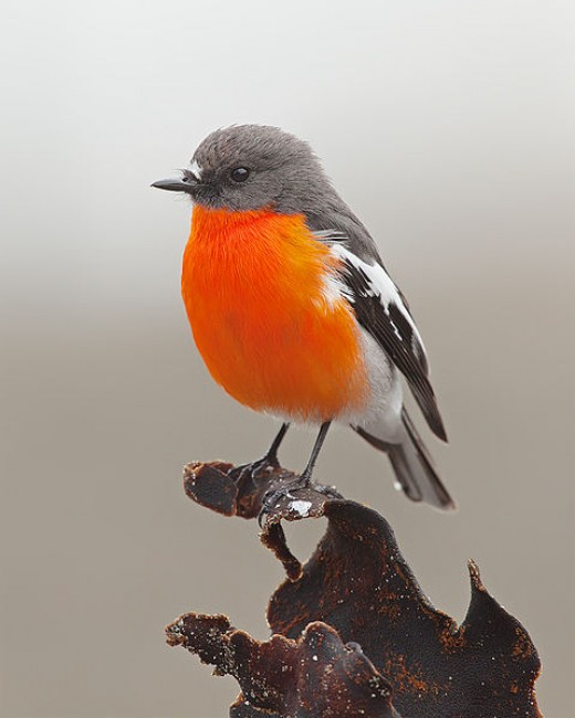 Flame Robin By Tim Collins CC BY_SA 3.0