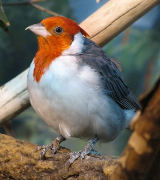 Red-crested Catbird By Ltshears Public Domain