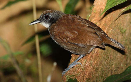 Antbird By Mdf CC BY-SA 3.0