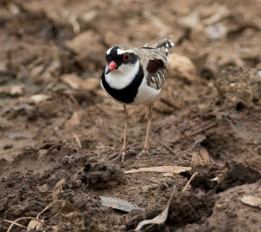 Black-fronted Dotterel By J J Harrison CC BY-SA 3.0