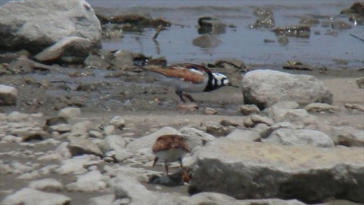 Ruddy Turnstone By Andy Reago and Christy McClarren CC BY-SA 2.0