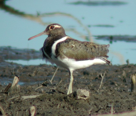 Australian Painted Snipe By Aviceda CC BY-SA 3.0