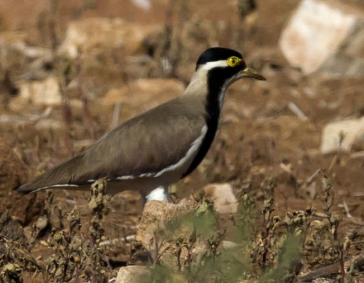 Banded Lapwing By Jim Bendon CC BY-SA 2.0