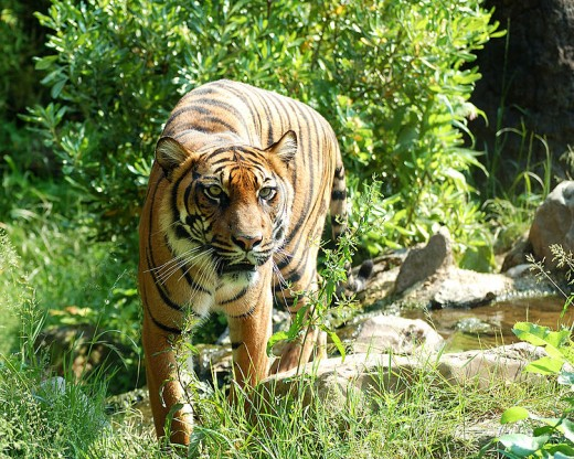 The last of the Sumatran Tigers are located on the Indonesian island called Sumatra.