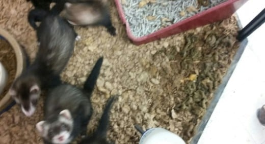 Images shows ferrets in an unclean habitat.