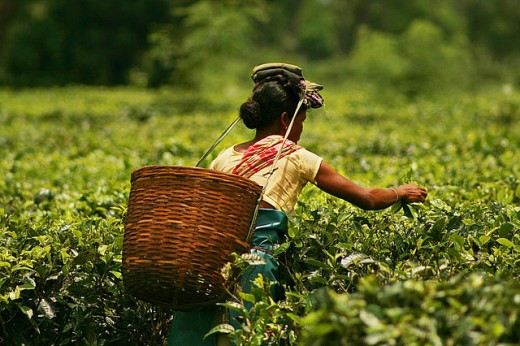 Plucking Tea in a tea garden of Assam, India.