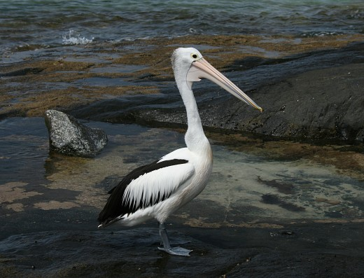 An Australian Pelican (pelecanus conspicillatus) at Kioloa beach in New South Wales, Australia. This photograph was taken with a polarizing filter to screen out the reflections on the water and rocks.