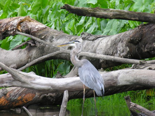 Great Blue Heron just after he caught a fish. Can still see it in his upper neck.