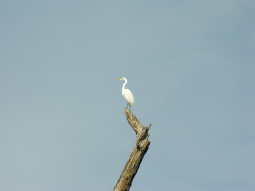 Egret perched on a tree branch.