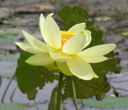 Closeup of yellow water lily.