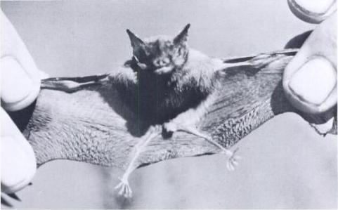Bumblebee Bat By Jyfrey A McNasley