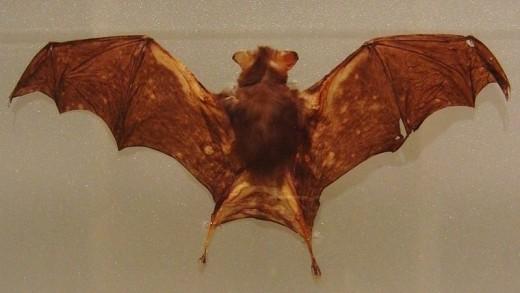 Kittis Hognose Bat By Momotarou 2012 CC BY-SA 3.0
