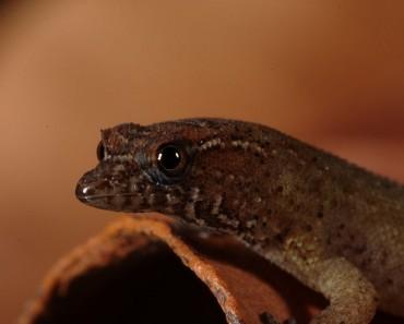 Virgin Dwarf Gecko Courtesy of wildfacts.com