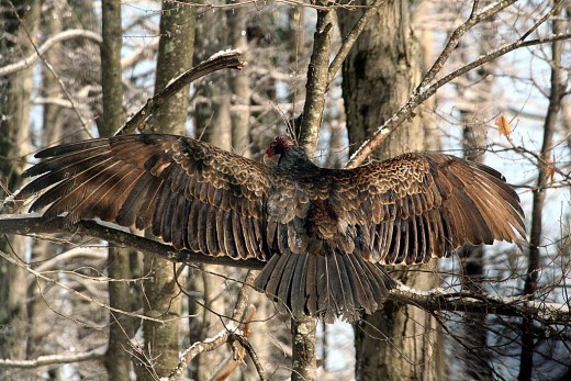 Spread Winged Adult By Mcvoorthis CC BY-SA 3.0