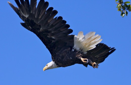 a bald eagle flying in the blue sky