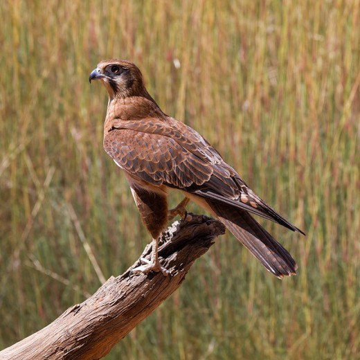 A Brown Falcon in Alice Springs, Northern Territory, Autralia By Mare Dalmuldis CC By-SA 2.0