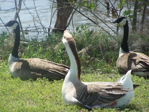 Gaggle of geese serenade...