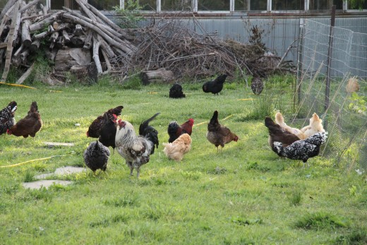 Chickens allowed to free-range on pasture will produce higher quality eggs and meat than their store-bought counterparts.
