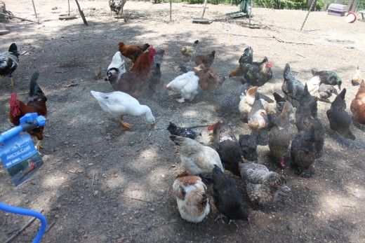 Poor flock planning will cost you in the long run.   Trying to keep too many chickens caused this previously-green lawn to be scratched down to bare earth, leaving nothing at all for the chickens to eat even long after the flock was downsized.