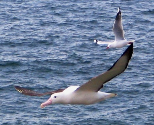 Northern Royal Albatross By XLerate at the English language Wikipedia, CC BY-SA 3.0, https://commons.wikimedia.org/w/index.php?curid=2878116