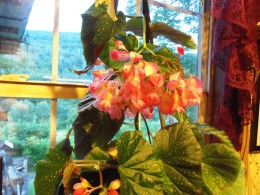 This is from Aunt Lila's Elephant ear/Angel wing begonia, it grew fast and over powered this window.