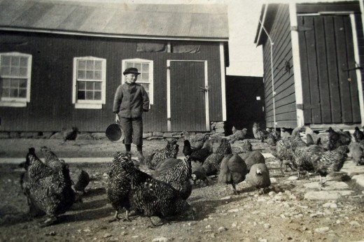 In this undated photograph, a boy tends a mixed flock of guinea fowl and barred rock chickens