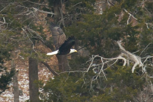 Bald eagle in the Wichita Mountains.