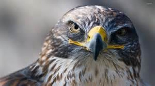 The Eyes of a Falcon ...