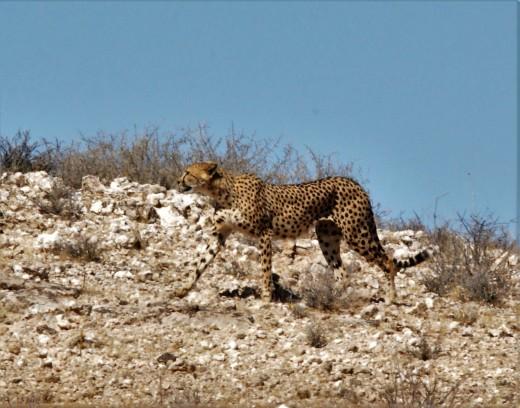 The fastest mammal on land-the Cheetah