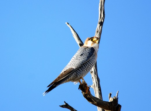 The beautiful Red-necked Falcon