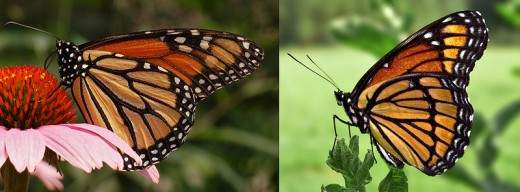 A Viceroy butterfly (right) and a Monarch butterfly (left).