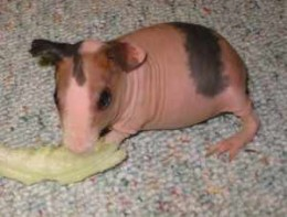 Baby SKinny Pig (Mostly hairless Guinea Pig)