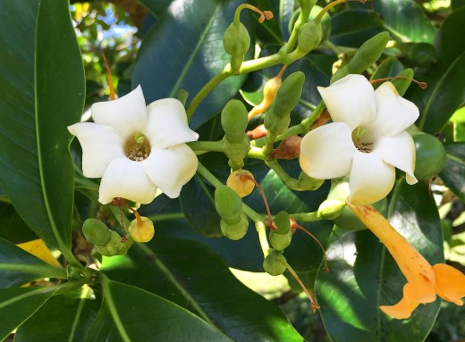 Extremely fragrant, creamy white pua kenikeni flowers turn orange as they age; very popular for making lei.