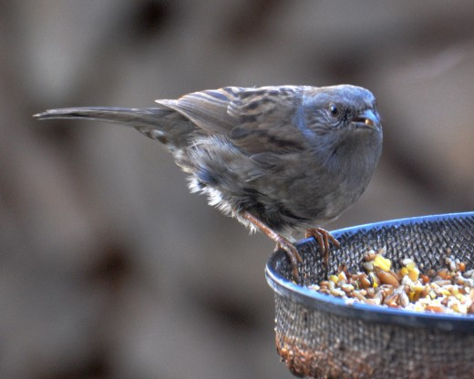 Dunnock on feeder